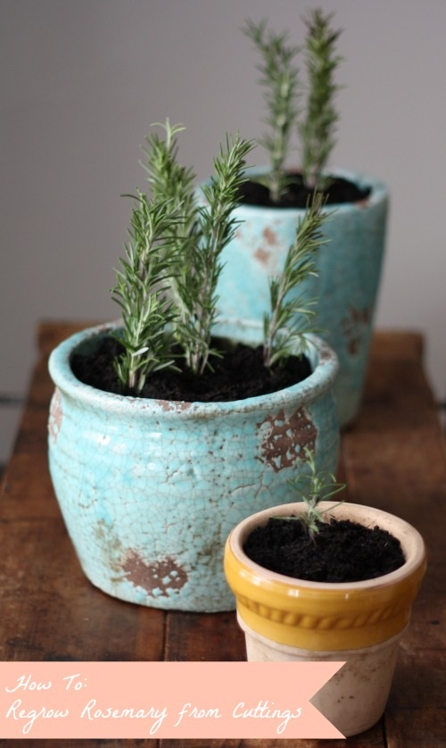 How To Propagate & Regrow Rosemary Cuttings