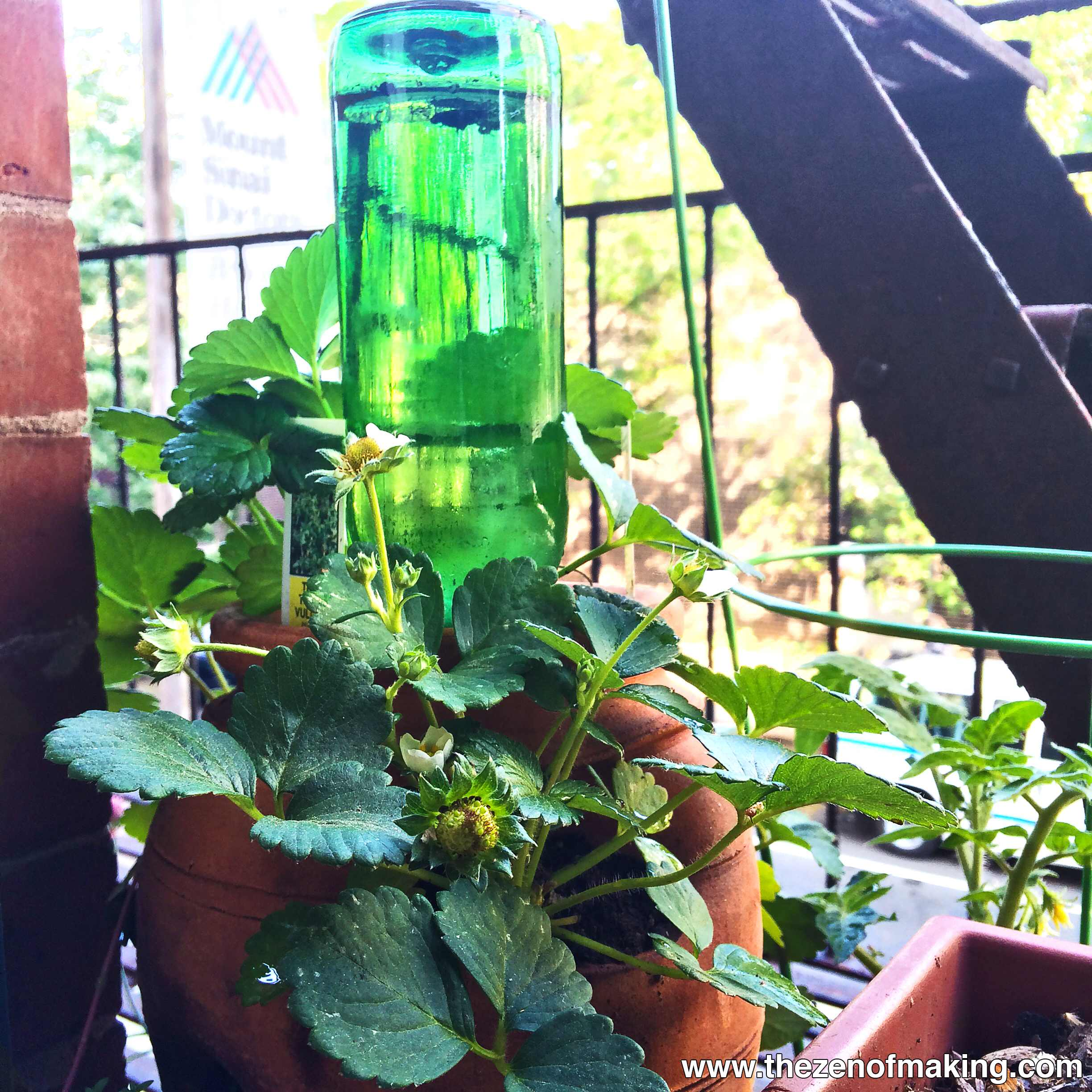 Tutorial Beer Bottle Watering Globe for Houseplants and Container Gardens